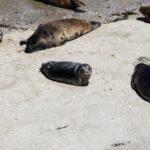 Baby seal in la jolla