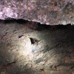Bats in Balconies cave