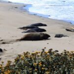elephant-seal-moving-across-sand