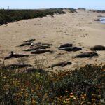 elephant seals 150x150