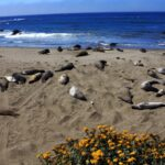 elephant seals basking in sun 150x150