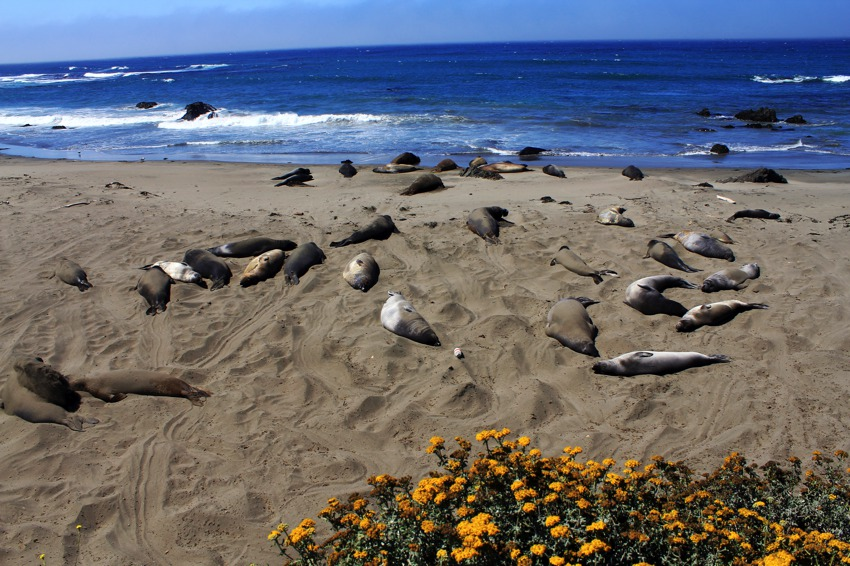 elephant seals basking in sun