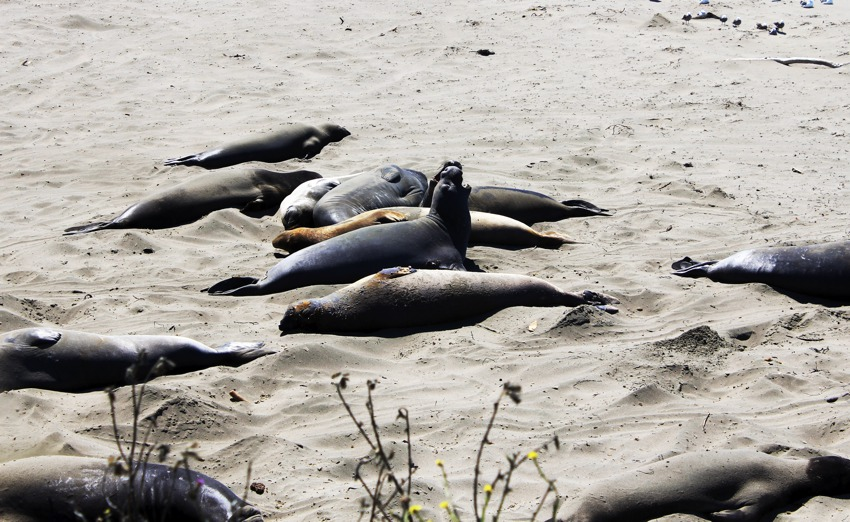 elephant-seals-fighting