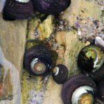 Hermet crabs in tide pools