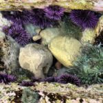 Sea Urchins 150x150