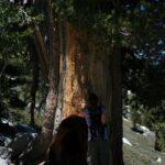 large trees on san jacinto