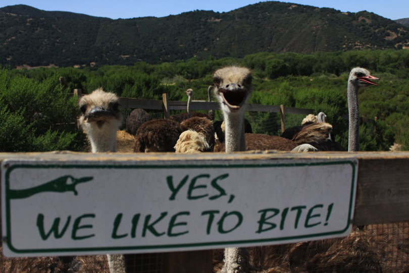 Ostriches waiting to be fed