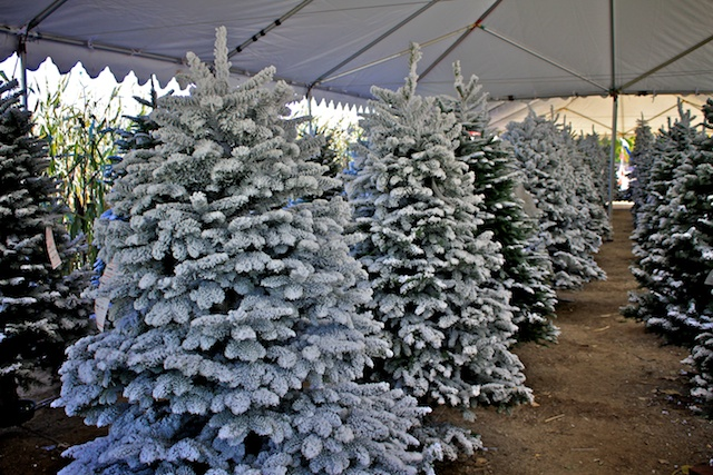 Live Oak Canyon Christmas Tree Farm: Yucaipa, CA