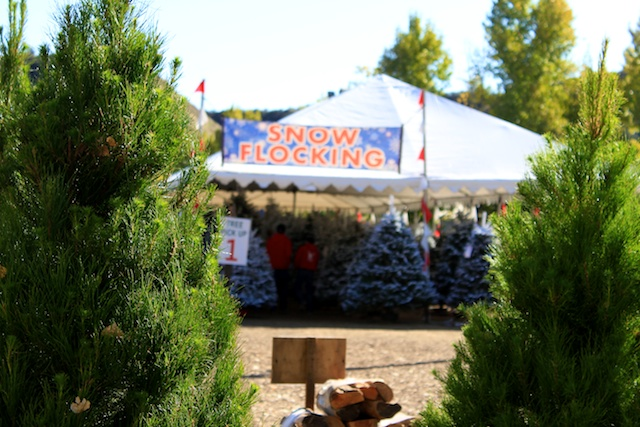 Christmas Trees. From just the variety standpoint, Live Oak Canyon ... - Live Oak Canyon Christmas Tree Farm: Yucaipa, CA - California