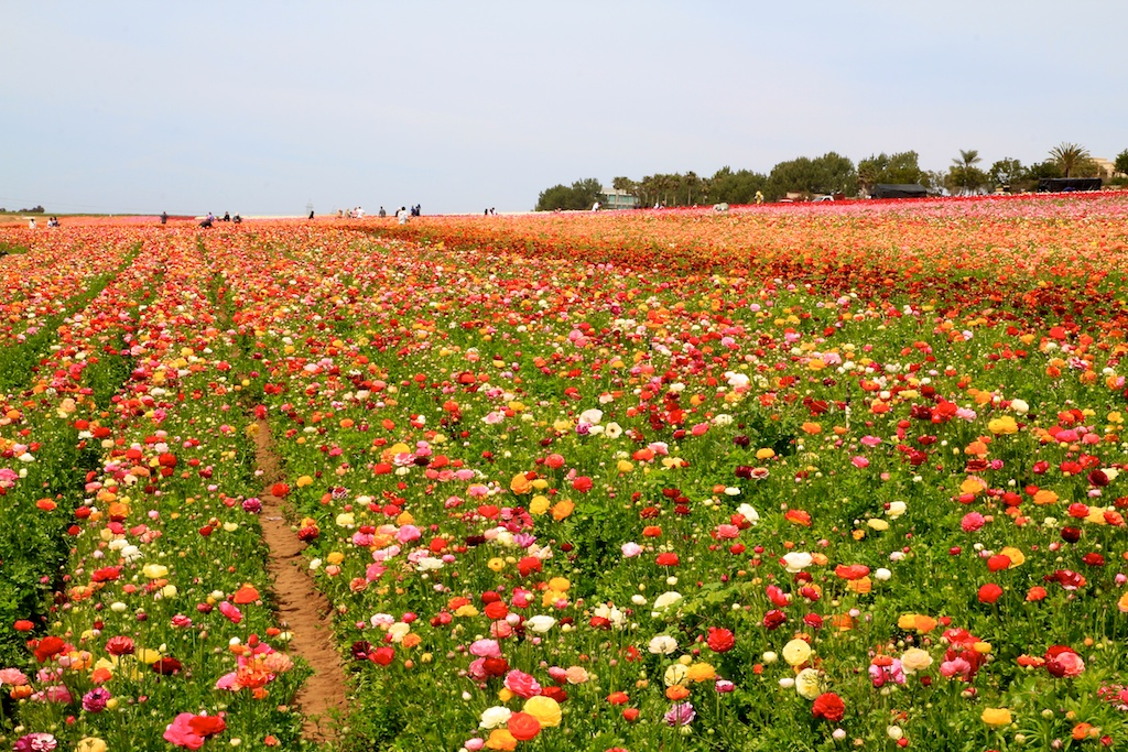Flower Fields of Carlsbad Review & Photos