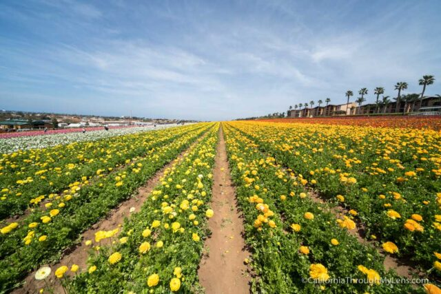 Flower Fields Of Carlsbad Review Photos California Through My Lens