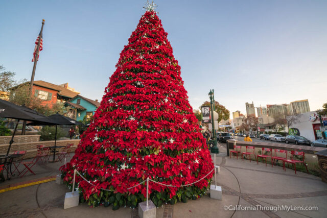 little italy is in the north part of downtown san diego and they have two of the pointsetta christmas trees that you can find along the street