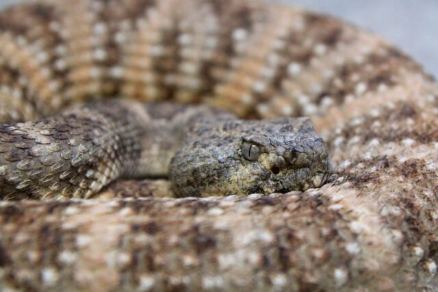 Rattlesnake up close