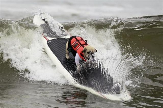 A Dog Rides Wave At Surf Contest In Huntington Beach California