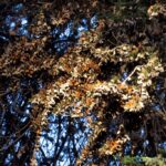 Monarch Butterfly Grove: See 30,000 Butterflies in Pismo Beach