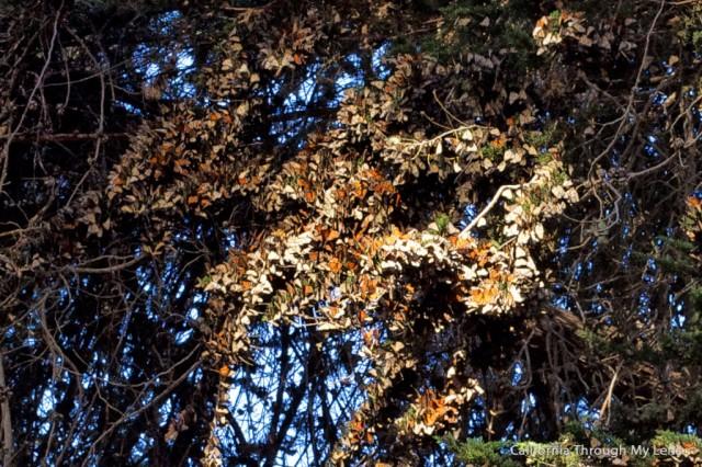 Monarch Butterfly Grove 10