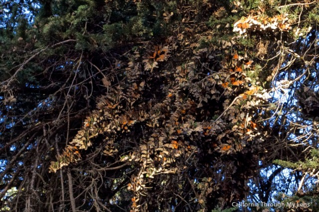 Monarch Butterfly Grove 3