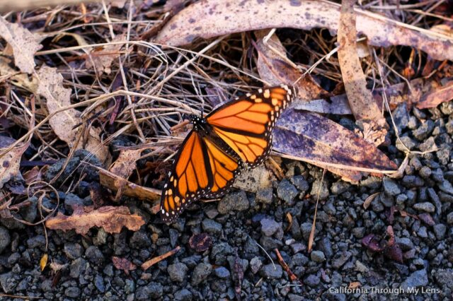 Monarch Butterfly Grove 6