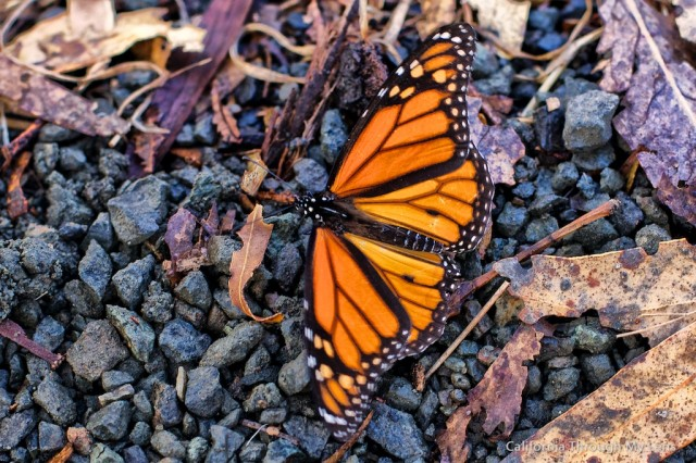 Monarch Butterfly Grove 8