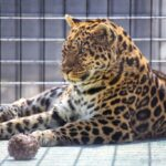 The Cat House: Exotic Tigers, Jaguars & More in Rosamond
