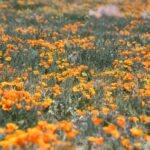 Antelope Valley California Poppy Reserve: Blankets of Orange Poppys
