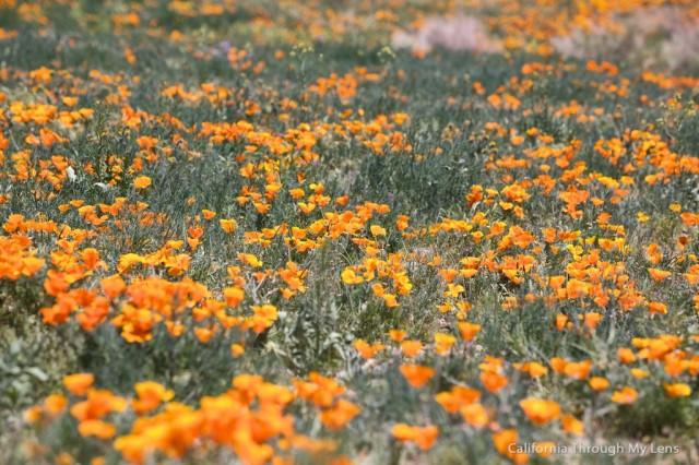 Poppy Reserve 31