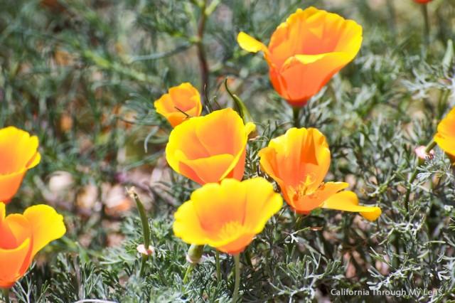 Poppy Reserve 6