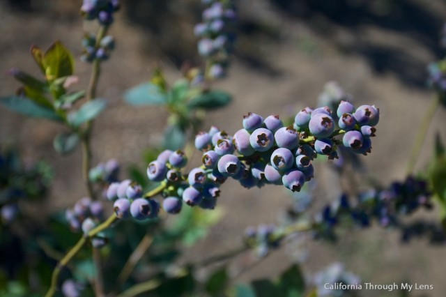 Pick Blueberries on Highway 1 10