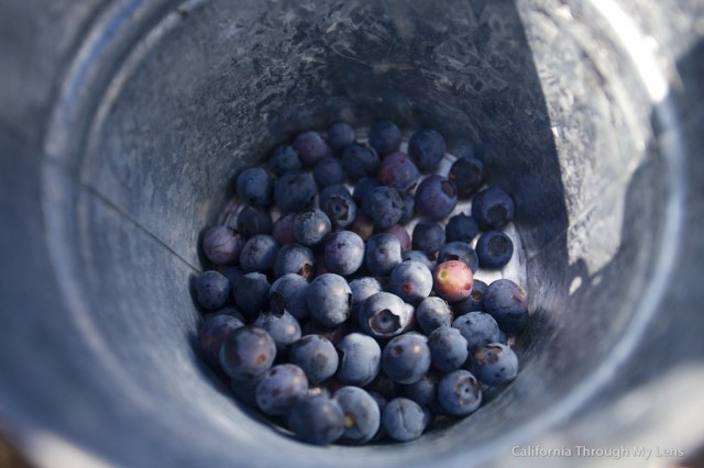 Pick Blueberries on Highway 1 5