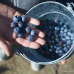 Pick Blueberries on Highway 1 6