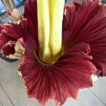 Corpse Flower Bloom at the Huntington Library