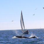 Chardonnay II Sailing 7