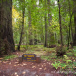 Founders Grove in the Avenue of the Giants