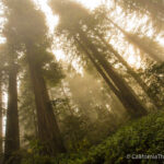 Lady Bird Johnson Grove in Redwoods National Park