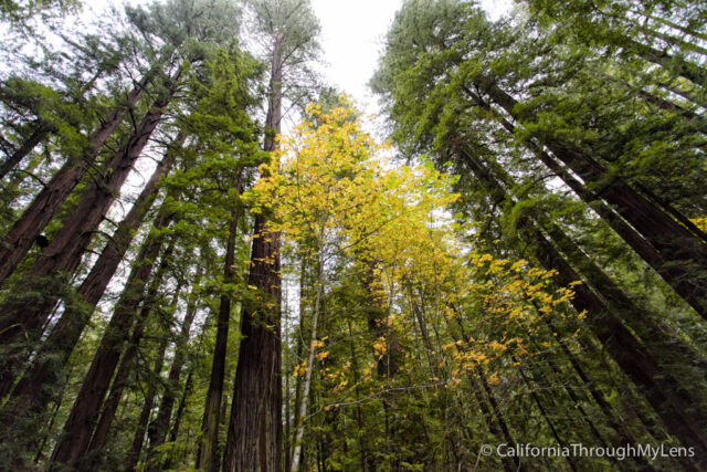 Avenue of the Giants-4