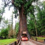 Chandelier Drive-Thru Tree in Leggett