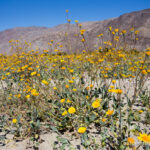Wildflowers in Anza Borrego: Where to Find Them