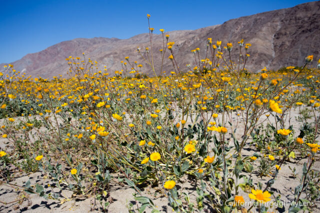 Anza Borrego Wildflowers-11