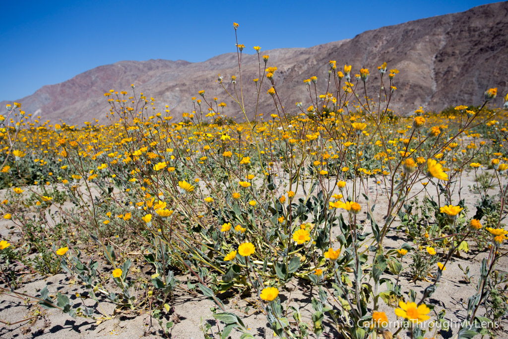 wildflowers in anza borrego where to find them california through