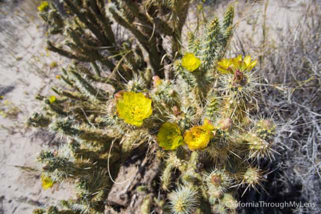 Anza Borrego Wildflowers-13