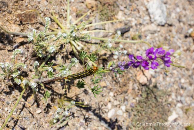 Anza Borrego Wildflowers-7