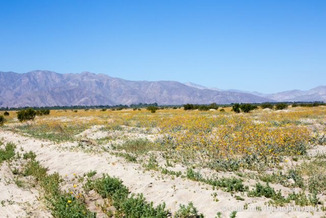 Anza Borrego Wildflowers-8