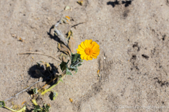 Anza Borrego Wildflowers-9