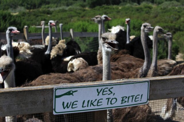 Ostriches-next-to-bite-sign