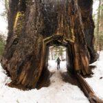 Snowshoeing to Tuolumne Grove in Yosemite National Park