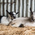 Harley Farms: Goat Cheese Producing Farm in Pescadero