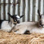 Harley Farms: Goat Cheese Producing Farm in Pescadero