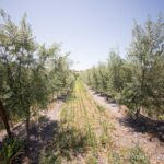 Groves on 41: Olive Oil Producing Farm in Templeton