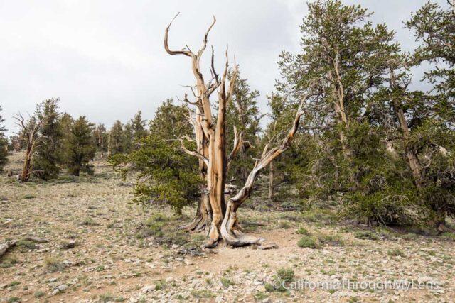 Bristlecone discovery trail-10