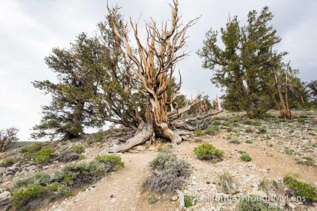 Bristlecone discovery trail-11